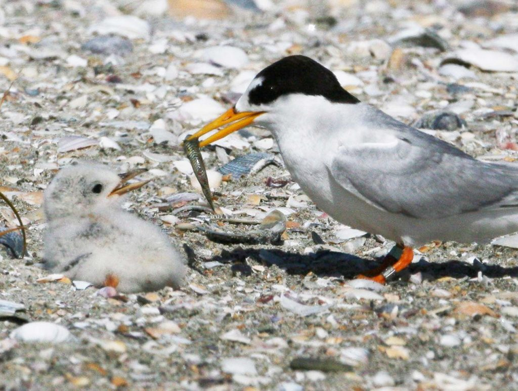 Fairy Tern is feeding goby to chick. Mangawhai Harbour, New Zealand.