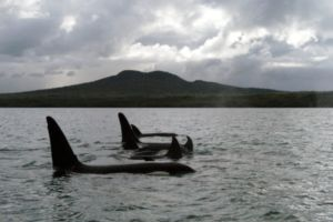 Orca by Rangitoto island