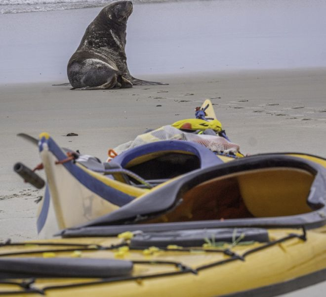 Sea kayak with seals and wild places with Auckland Sea Kayaks
